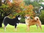 Sherae Kennels - Chow Chows & Shiba Inu Breeders, Boarding, Transport - Perth