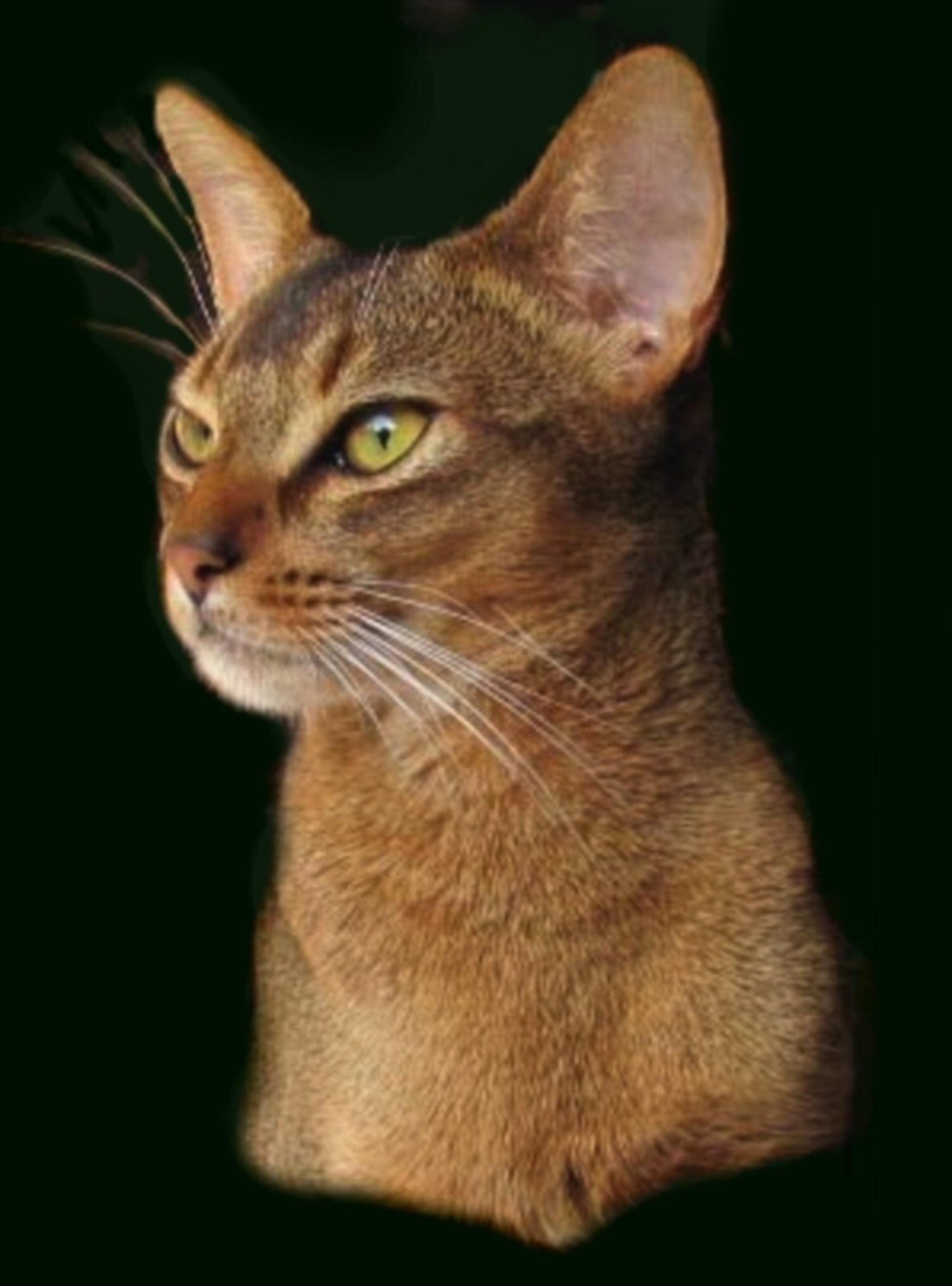 Johari Abyssinians - Cat Breeder, Sydney - NSW