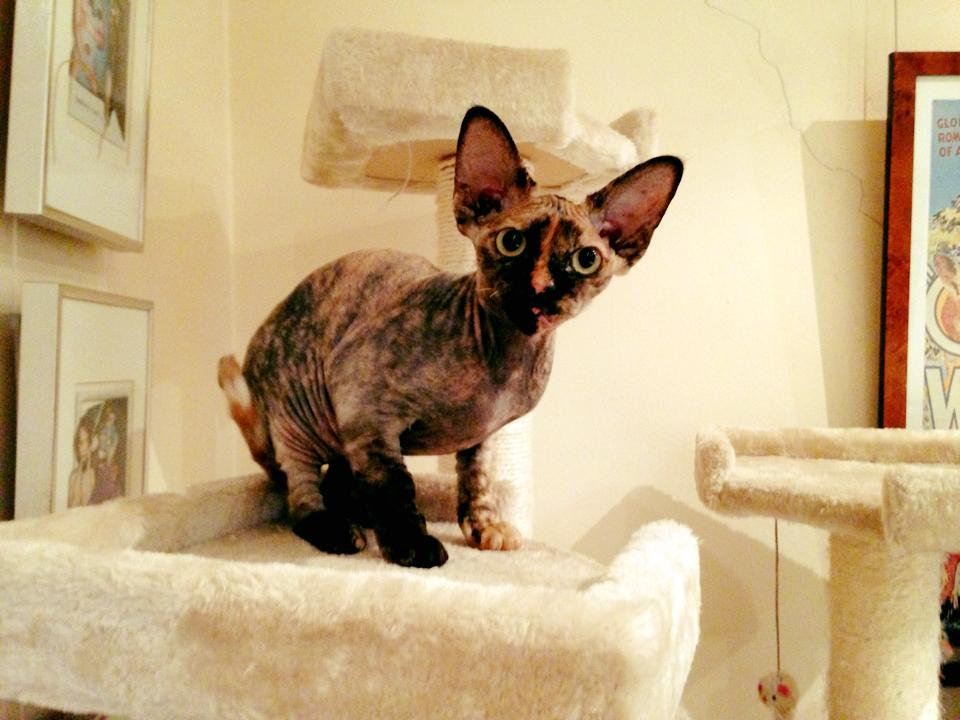 Inquisitive Catticus Lady Penelope as a kitten gallery image
