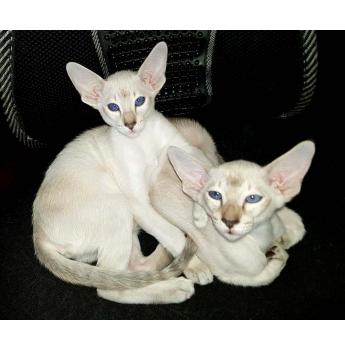Kittens for sale from registered Cat Breeders in Perth
