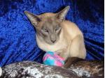 Siamhappy Cattery - Siamese Cat Breeder - Perth, Western Australia