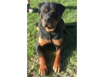 Gods Miracles - German Shepherd & Rottweiler Breeder - Camden, NSW