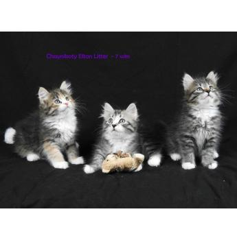 Chaynikoty Siberian Cats - Siberian Cat Breeder - South Burnett, QLD