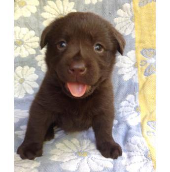 Registered Labrador Retriever Dog Breeders In South Australia Sa
