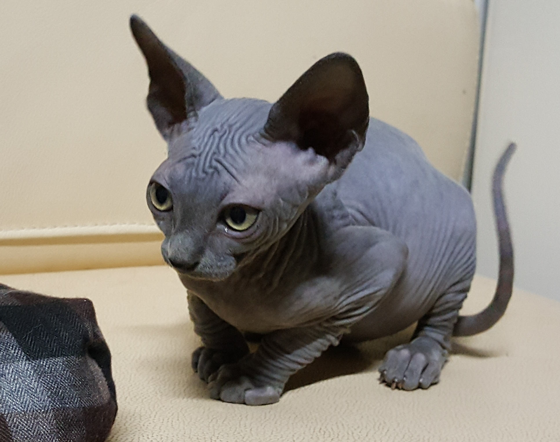 Solid Blue Sphynx kittens  gallery image