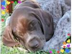 Smackpoint German Shorthaired Pointers - Grenfell, NSW