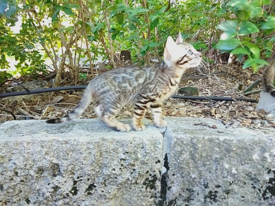 Past Jazzapurrs Kitten gallery image