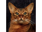 Vivace Cattery - Somali & Abyssinian Cat Breeder - Adelaide