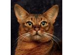 Vivace Cattery - Somali Breeder - Adelaide