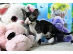 Fur Re Fae Devon Rex Cattery - Breeder - Williamstown
