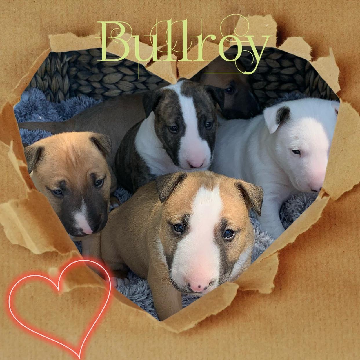 Bullroy Kennels Bull Terrier Breeder Victoria