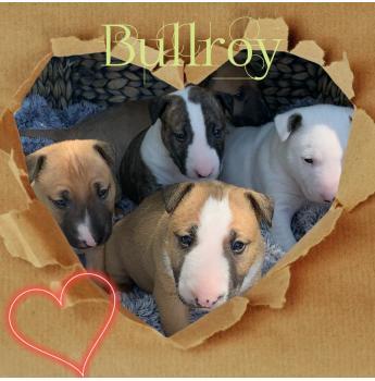 Bullroy Kennels - Bull Terrier Breeder - Victoria