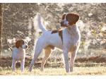 Kirinbell Kennels - Brittany Dog Breeder - Hills District, Sydney