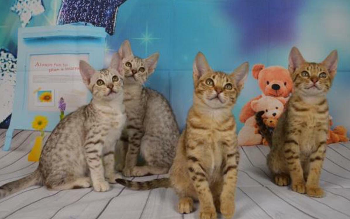 Chocolate silver & chocolate Ocicat kittens