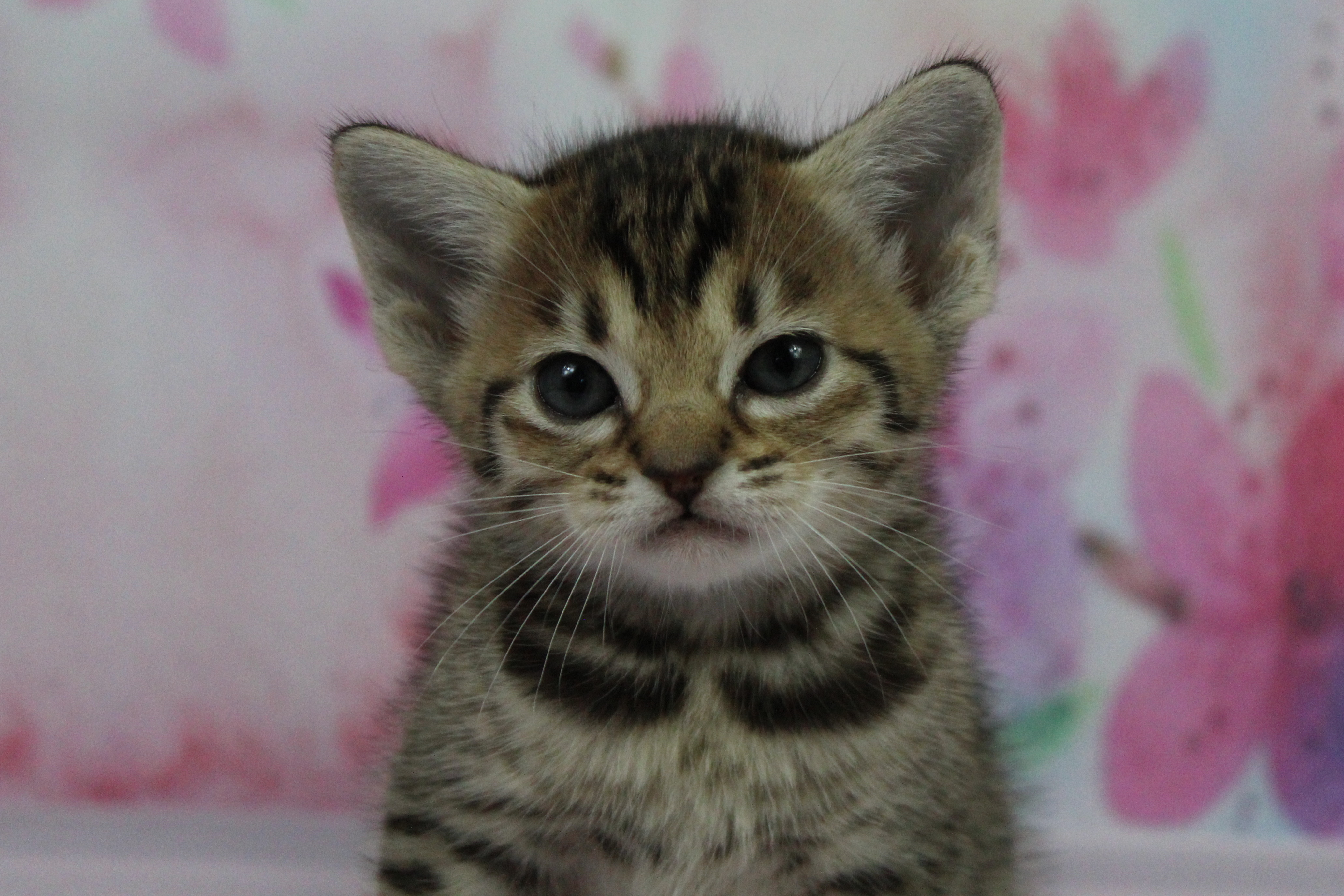 Tawny Ocicat kitten gallery image