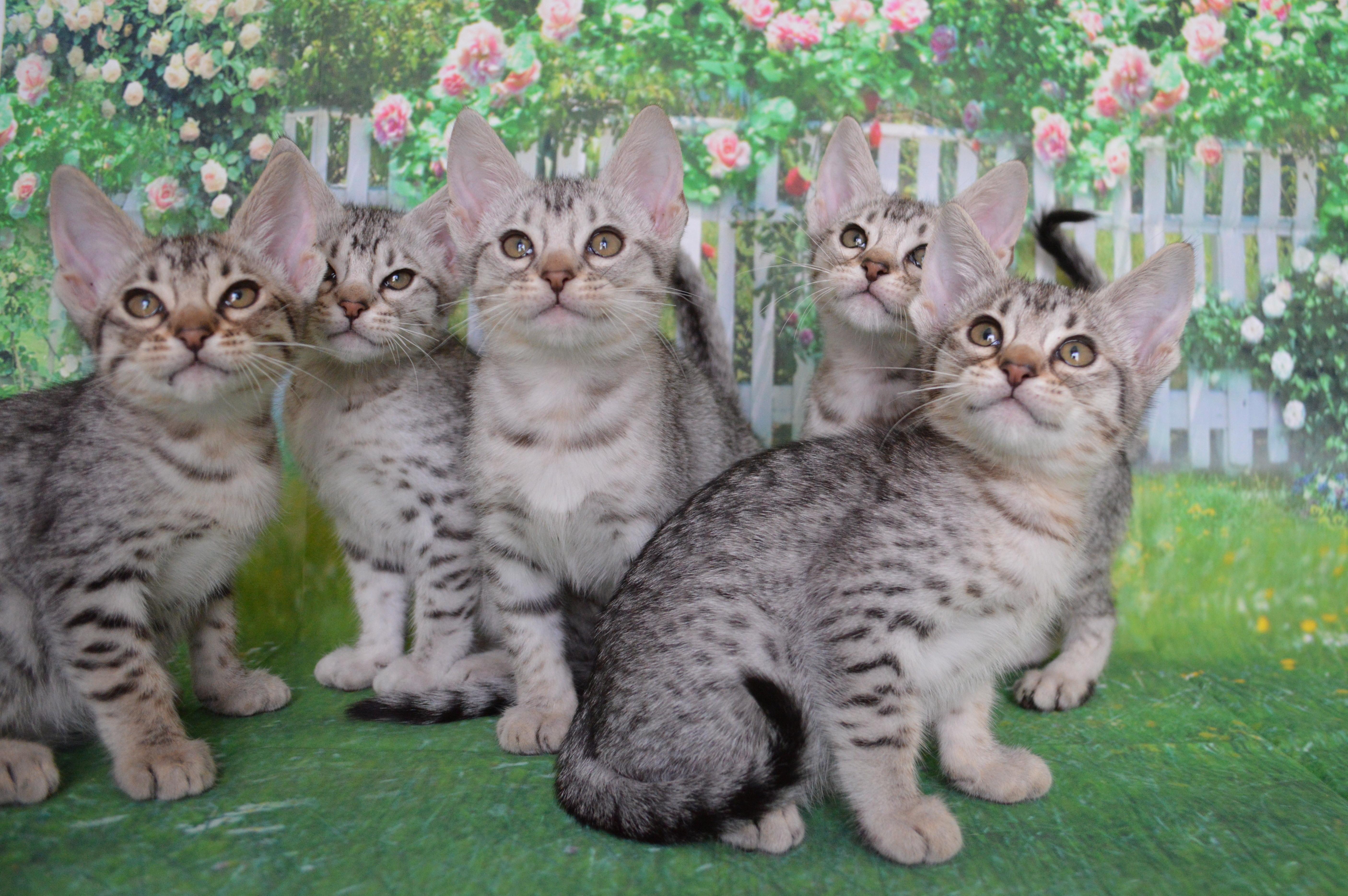 Black silver kittens  gallery image