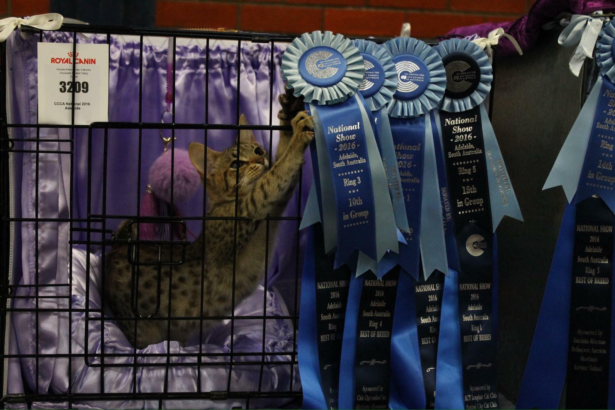 Our Ocicats on show gallery image