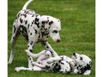 Cristabo Kennels - Dalmatian Breeder - Wellington, New Zealand