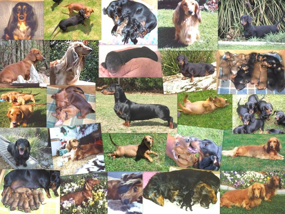 Collage of some of our dachshunds since the 90s gallery image