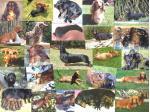 Eukypark -  Dachshund Standard Smooth Breeder - Ulverstone Tasmania