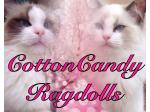 CottonCandy Ragdolls - Ragdoll Breeder - Adelaide, South Australia