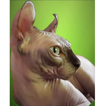 Registered Sphynx Cat Breeders Australia