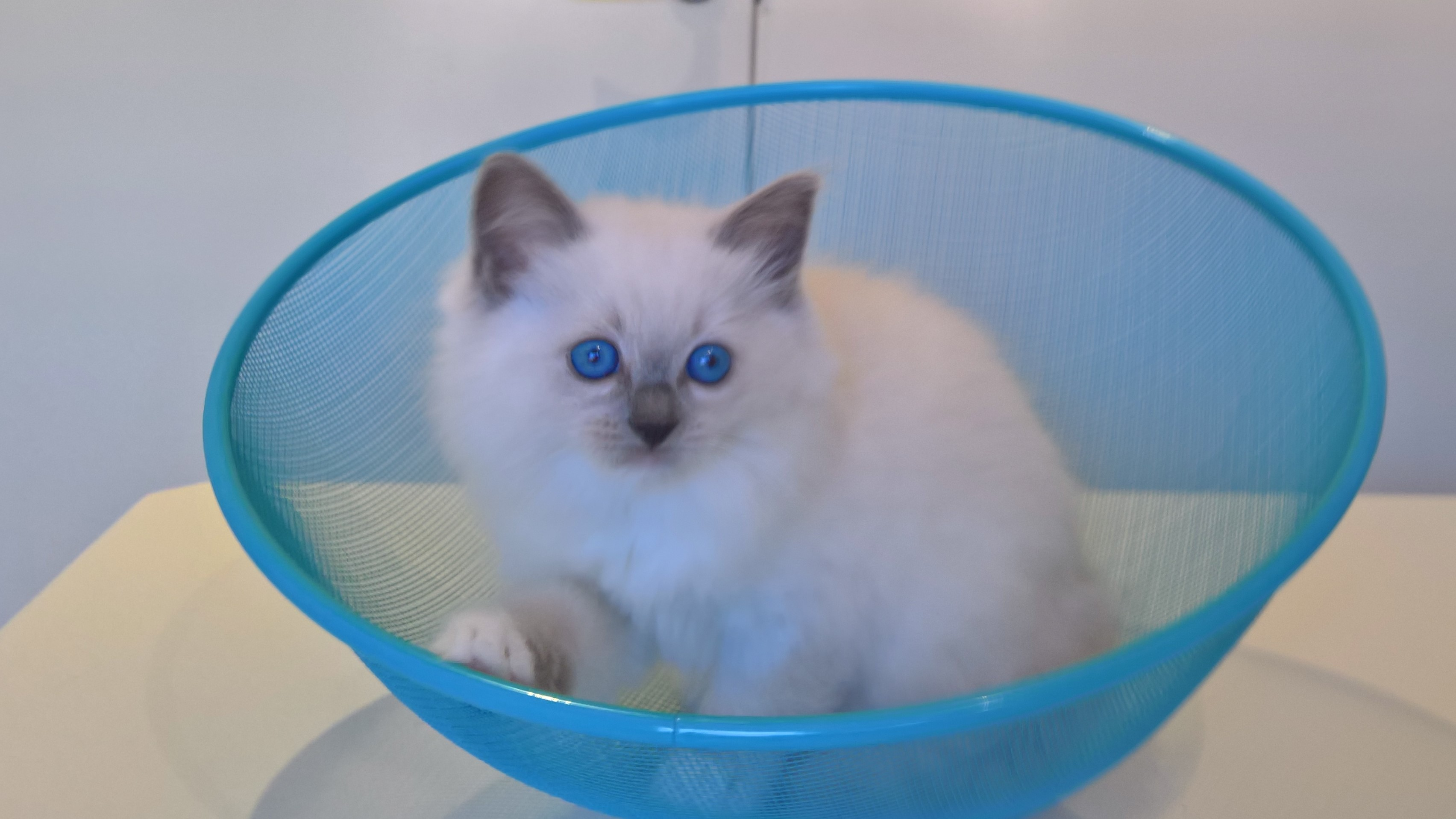 Blue Mitted Beauty gallery image