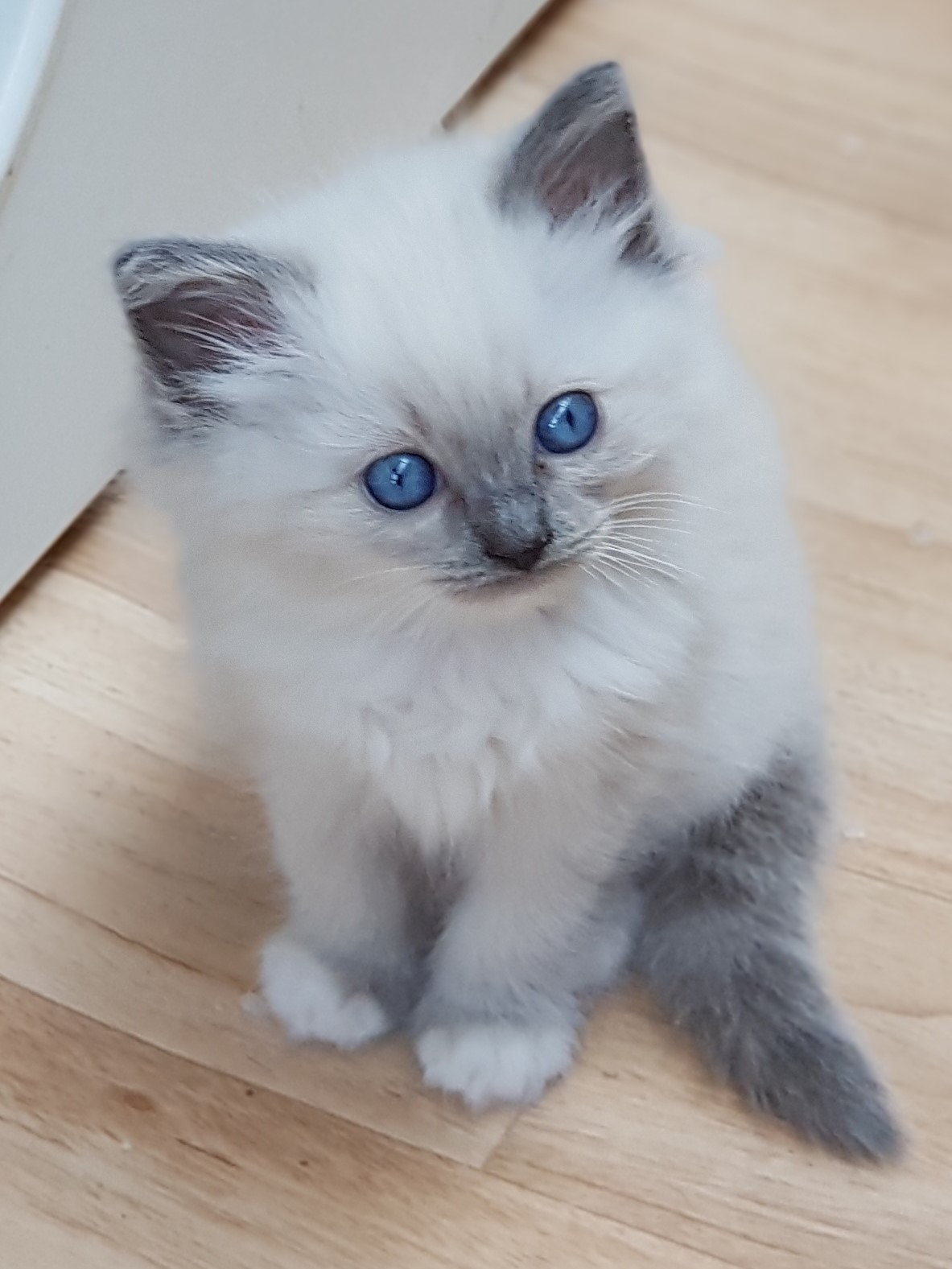 Blue Mitted Gorgeous Ragdoll Kitten gallery image