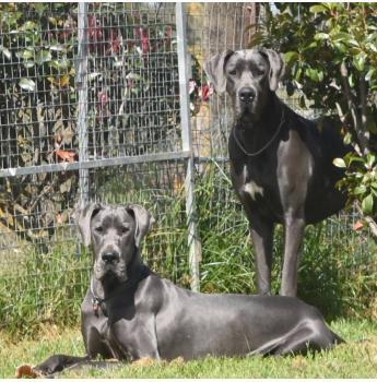 Okelani Great Danes - Great Dane Breeder - Armidale, NSW