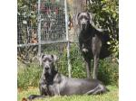 Okelani Great Danes - Great Dane Breeder - Armidale, NSW