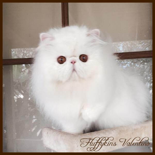 Fluffykins Valentino - Copper Eyed White Persian  gallery image