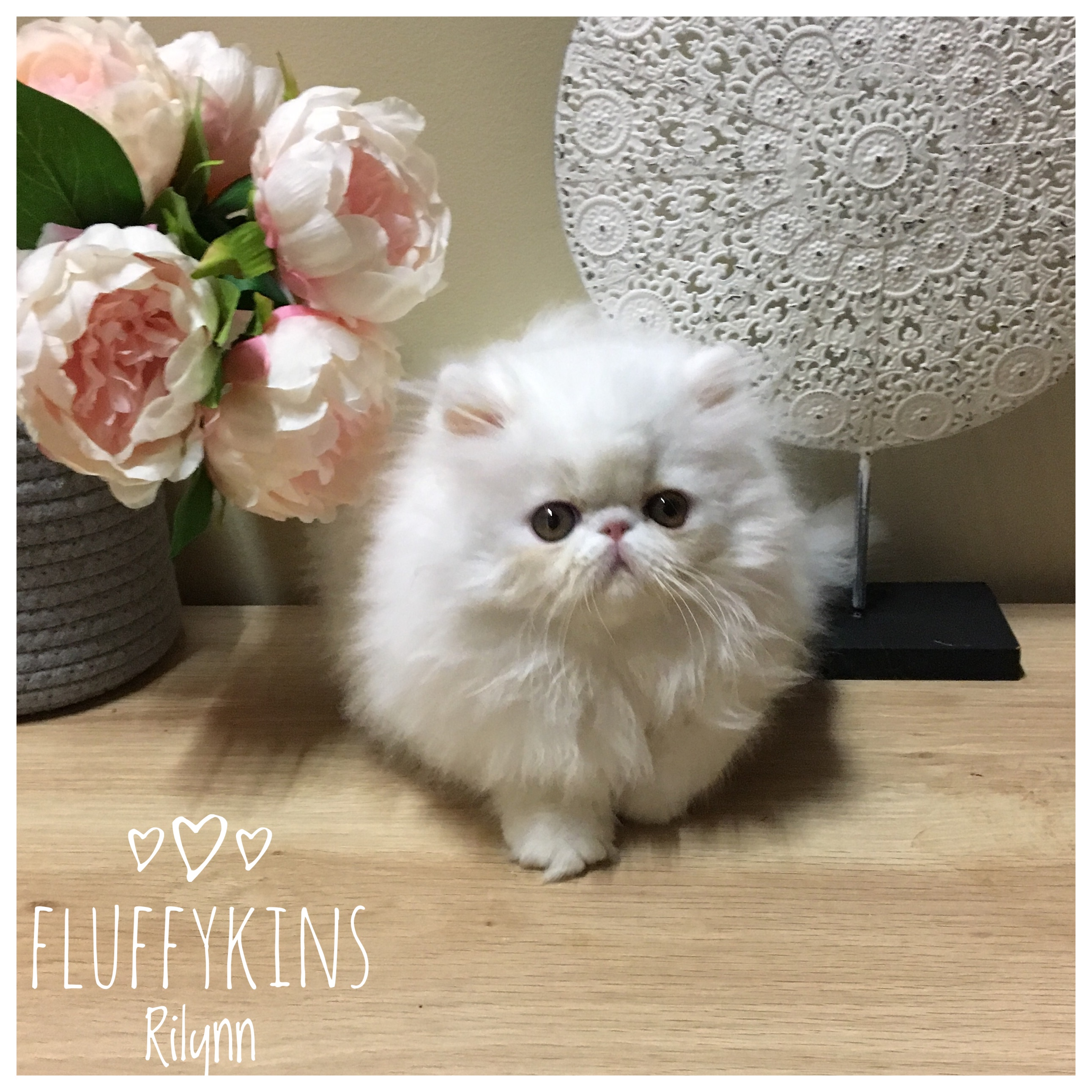 Fluffykins Rilynn - Copper Eyed White  gallery image