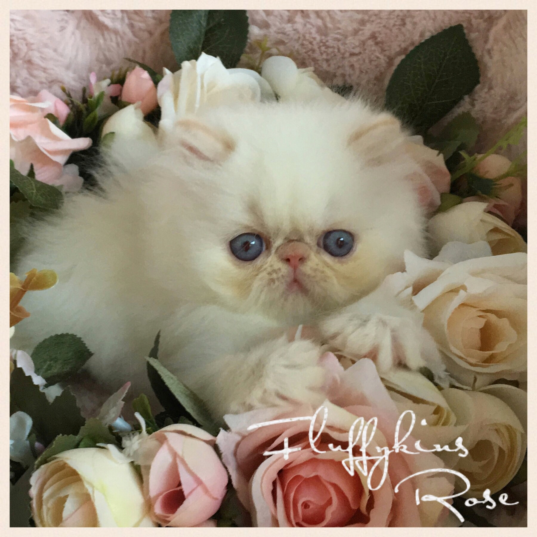 Fluffykins Rose - Cream Colourpoint Persian  gallery image
