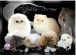 Fluffykins Persian & Exotic cat Breeder - Brisbane, QLD