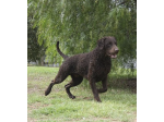 Curlesque Curly Coated Retrievers - Breeder - Tungkillo, SA