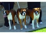 Roxbud Kennels - Boxers, Bloodhounds and Griffon Bruxellious - Murray Bridge, SA