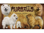 Furballs Chow Chows - Chow Chow Breeder - Launceston, TAS