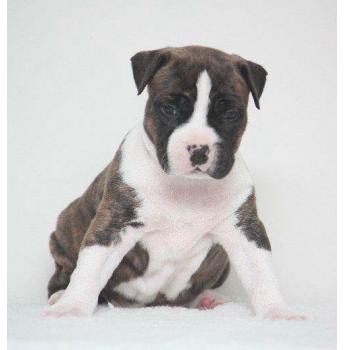 Tredanky American Staffordshire Terrier Breeder Brisbane Qld