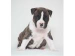 Tredanky American Staffordshire Terrier Breeder - Brisbane, QLD