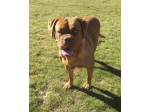 Legrandchien Dogue de Bordeaux Breeder - Bungendore, NSW