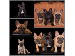 Starzlechien French Bulldog Breeder - Brisbane, QLD
