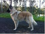 Teangibelge Belgian Shepherd Dog Breeder - Lake Macquarie, NSW