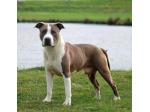 Newbelle American Staffordshire Terrier Breeder - Illawarra, NSW