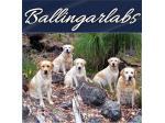 Ballingarlabs - Labrador Retriever Breeder - Southampton, WA