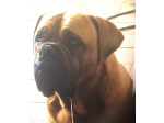Bulladulla Kennels - Dogue de Bordeaux Breeder - Bomaderry, NSW
