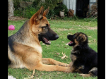 Ambala - German Shepherd Breeder - Sydney, NSW