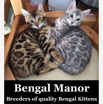Registered Bengal Cat Breeders In Western Australia Wa