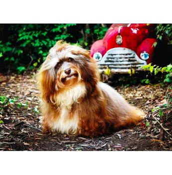 Registered Havanese Dog Breeders Australia