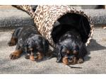 Weblyn Gordon Setter Breeder - South Auckland, NZ