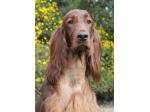Ornac Irish Setter and Tenterfield Terrier Breeder - Finley, NSW